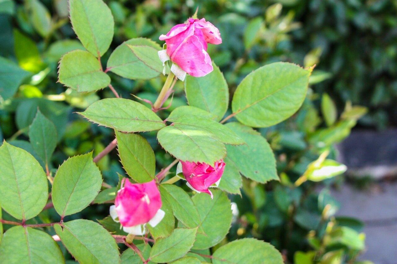 Розы-31.jpg
