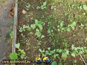 редиска и сорняк