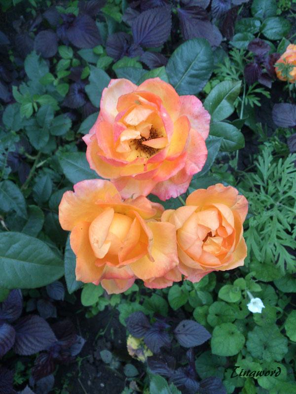 розы-3.jpg