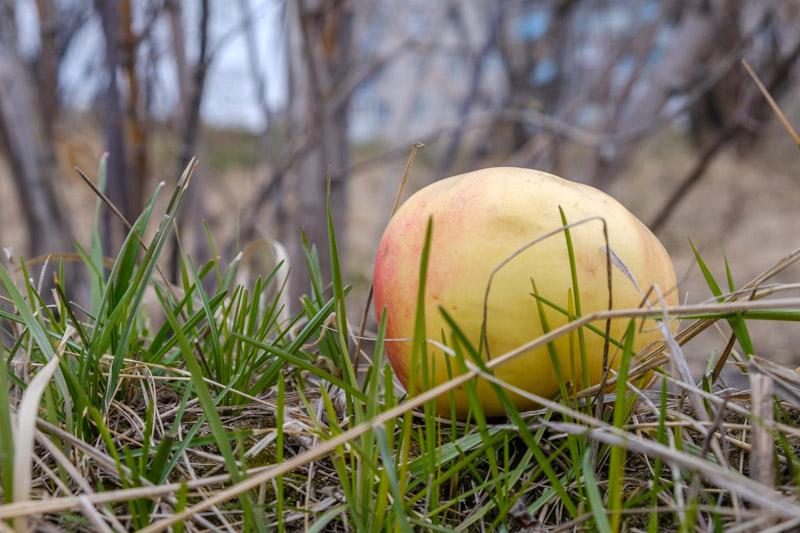 яблоко лежит на траве, весна в городе