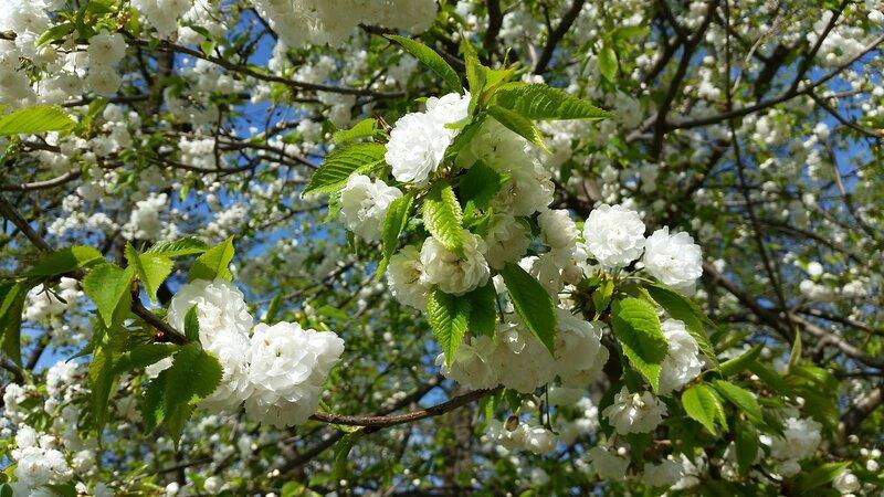 Белоснежная весна