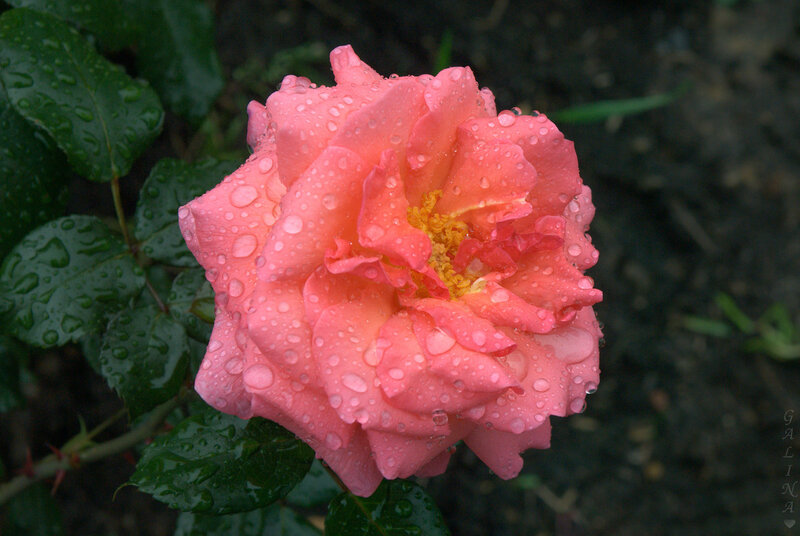 Слезы и розы