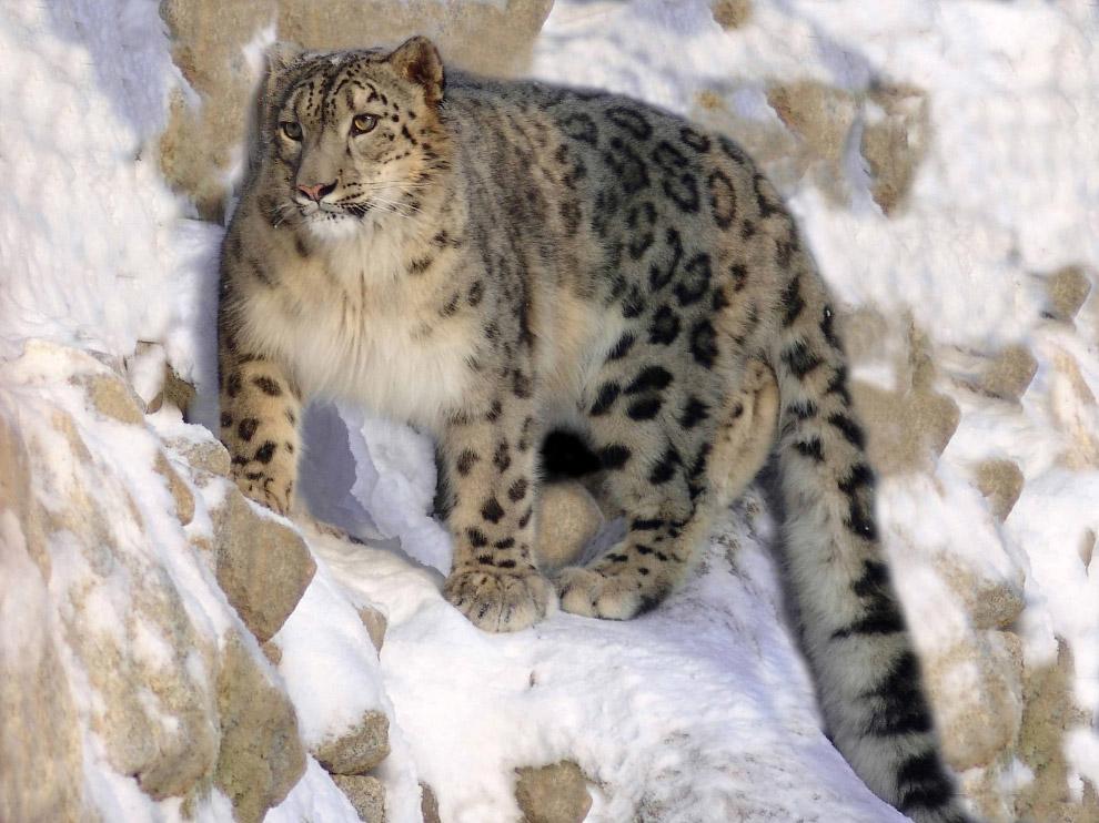 5. Снежный барс постоянно кочует. Его территория может достигать 1000 квадратных километров.