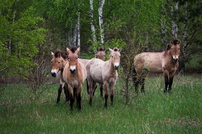 Животные правят Чернобылем после ядерной катастрофы (12 фото)