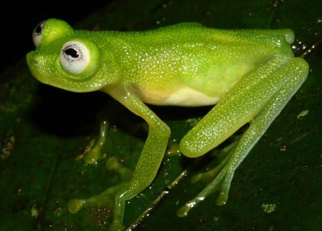 © Brian Kubicki  Открытую в2015 году лягушку назвали Hyalinobatrachium dianae— вчесть Джене