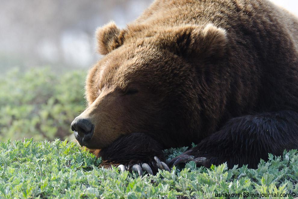 7. И как много НО в его, казалось бы, обычной медвежьей жизни.