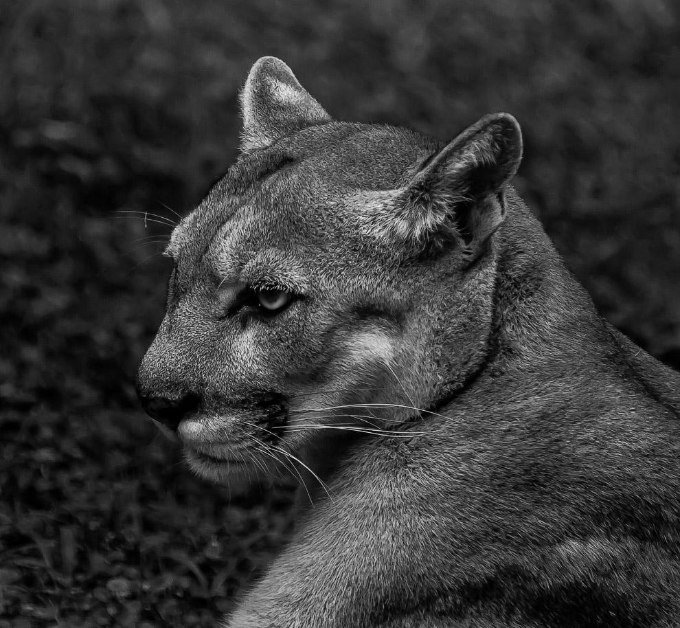 Как и все дикие кошки, пума очень элегантное животное, но лично мне в ней больше всего нравятся