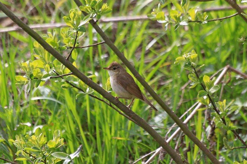 маленькая серая птичка на ветках кустов у реки Мостовицы