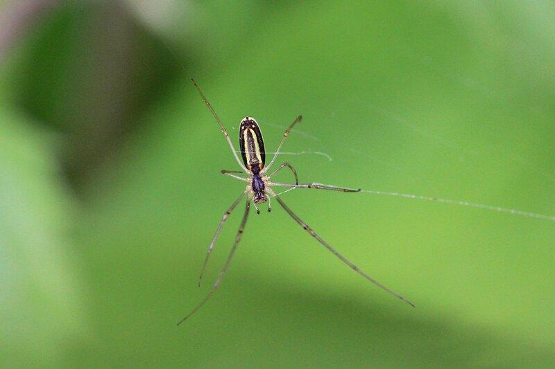 Паук-тетрагната (Tetragnatha) на своей паутине. Полосатое черно-жёлтое палочковидное брюшко и очень длинные передние лапы