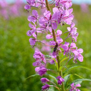 Иван-чай узколистный (Chamaenerion angustifolium)