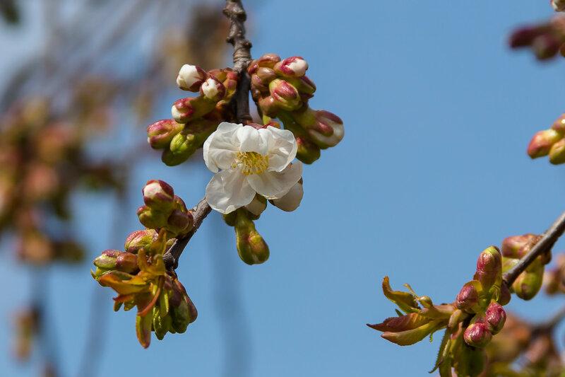 Первый цветок вишни