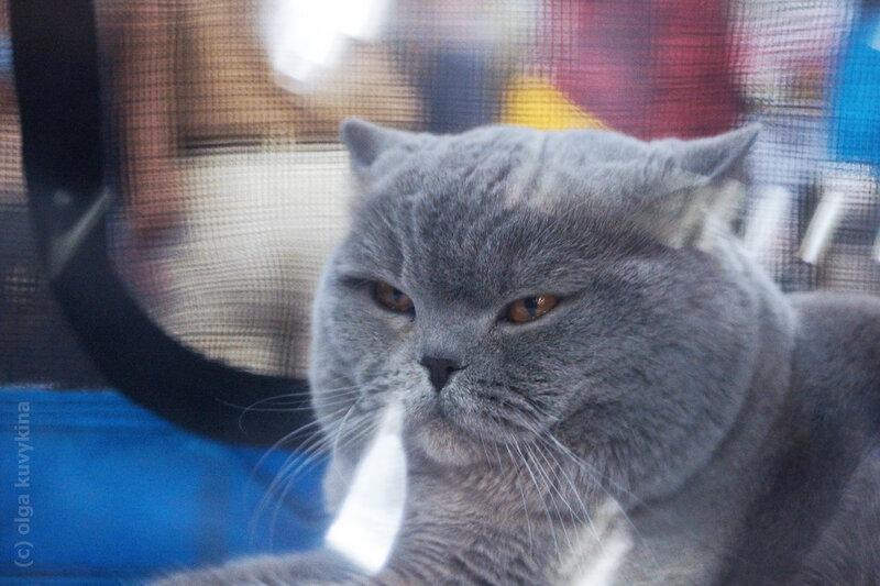 Британский кот ИВАН