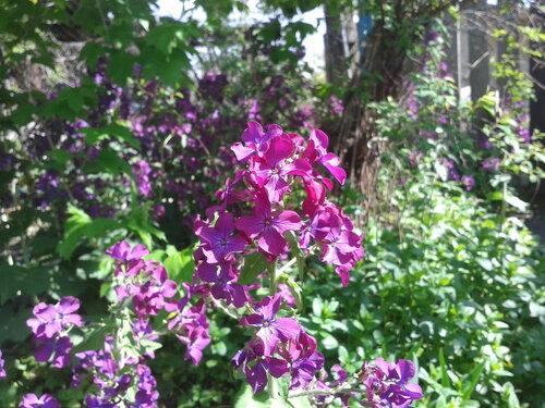 цветы фиолетовые весна