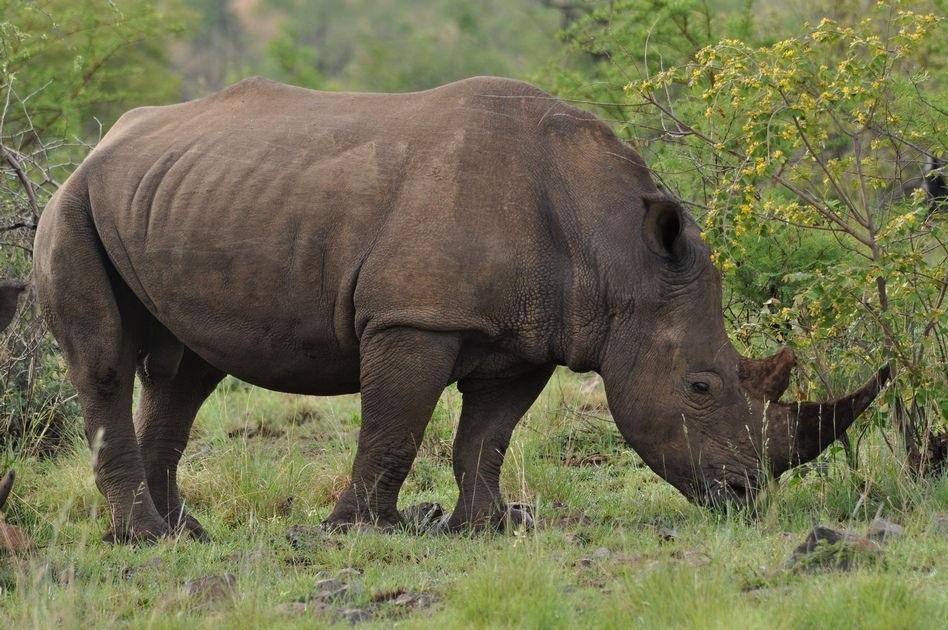 В индийском парке ради спасения носорогов убивают людей (6 фото)