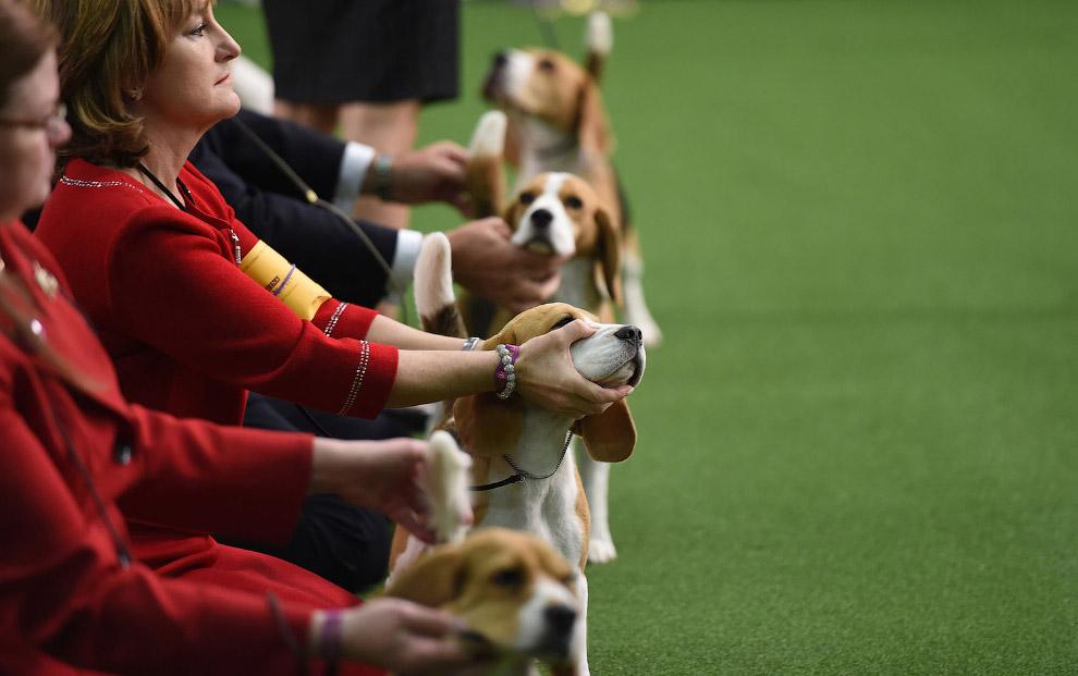 18. Может пойдем отсюда? Вельш корги — порода собак, выведенная в Уэльсе. (Фото Drew Angerer):