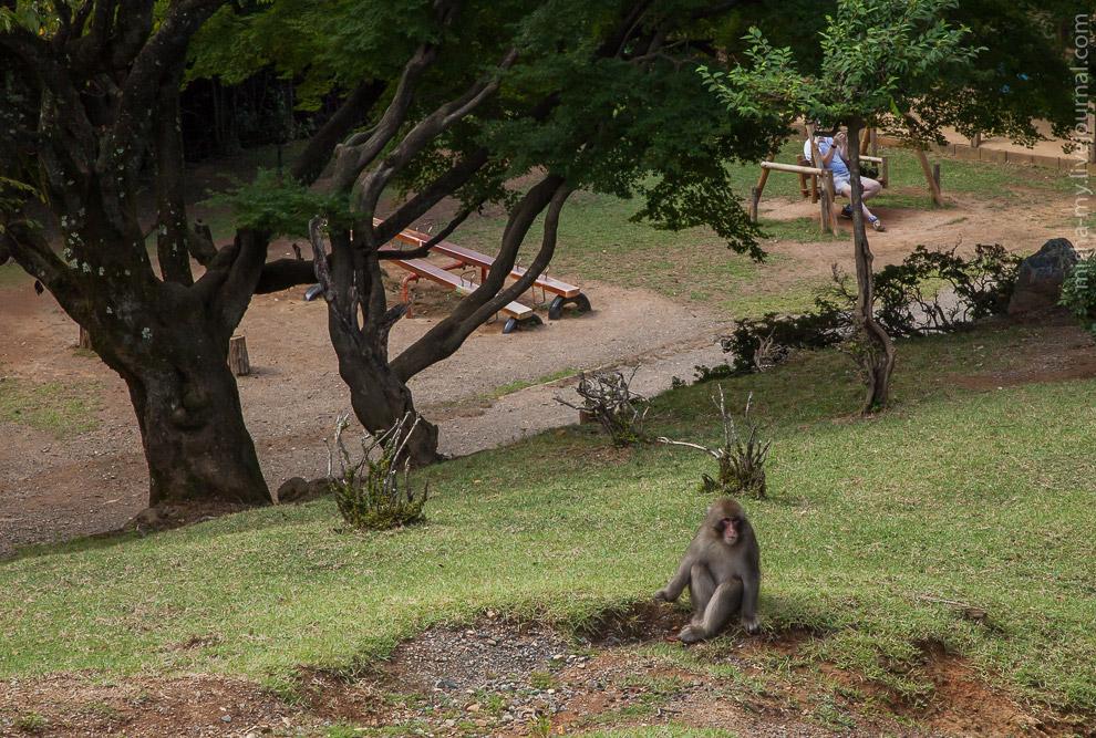 12. Обезьяны в парке пасутся совершенно свободно, иногда подходя очень близко к туристам. Особо