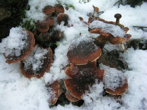 Осенние опята были перемороженные, но смотрелись относительно бодро; Автор фото: Станислав Кривошеев