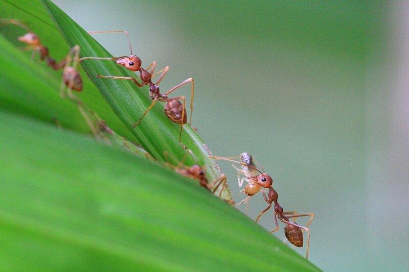 Муравьи-ткачи несут личинок, выделающих шелк для склеивания листьев пальмы (азиатский муравей-портной, Oecophylla smaragdina)