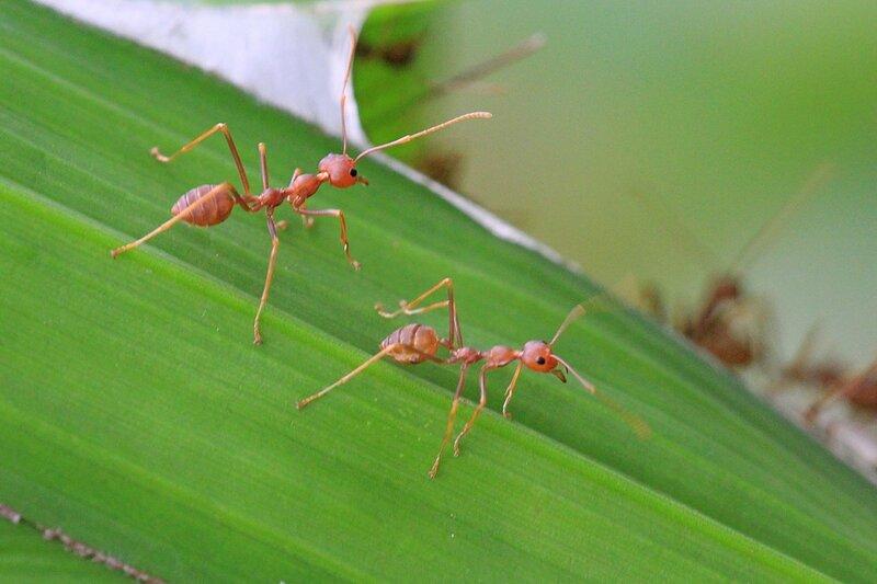Муравьи-ткачи (азиатский муравей-портной, Oecophylla smaragdina) на листьях пальмы в сплетённом из них гнезде на дереве