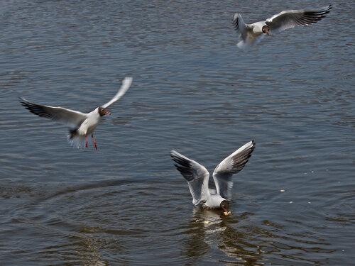 Озёрная (речная, или обыкновенная) чайка (Larus ridibundus). Вечно голодные и крикливые чайки часто конкурируют между собой за кусок хлеба.      Автор фото: Юрий Семенов