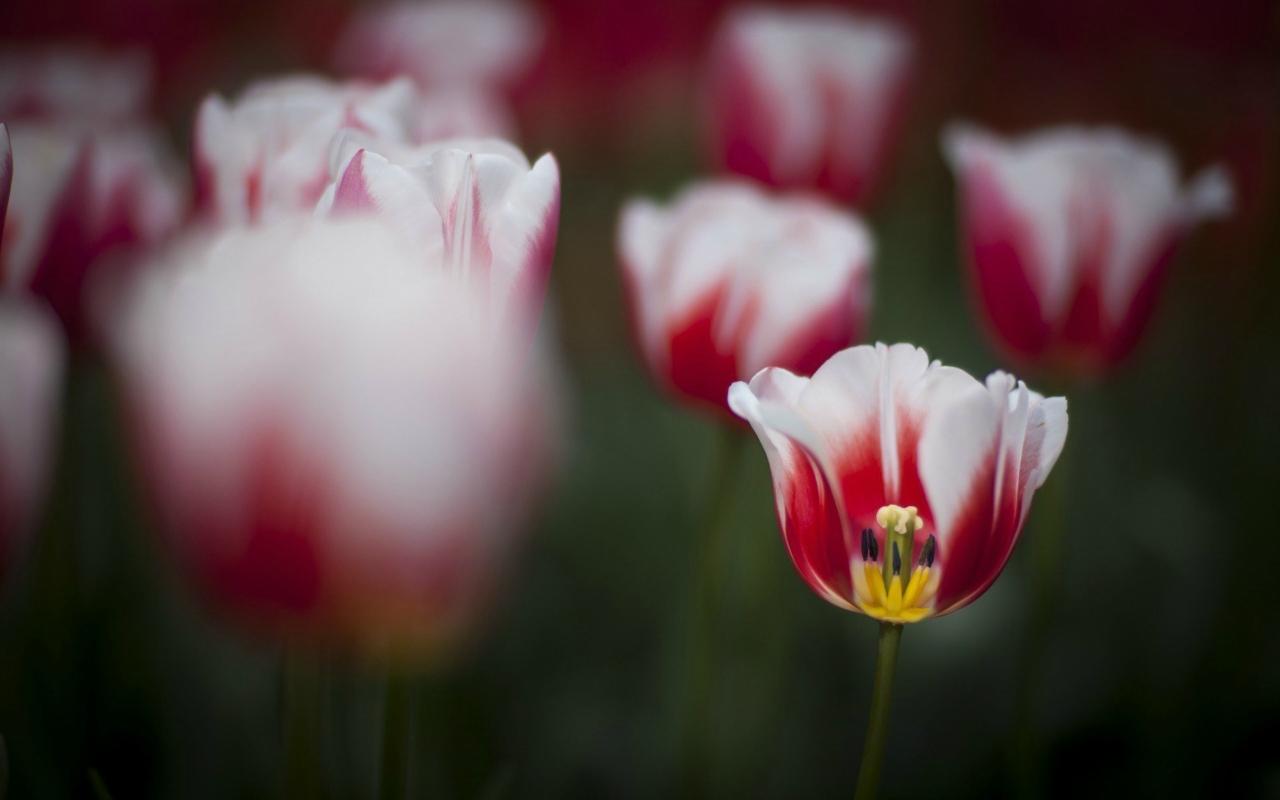 тюльпаны цветы фокус загрузить