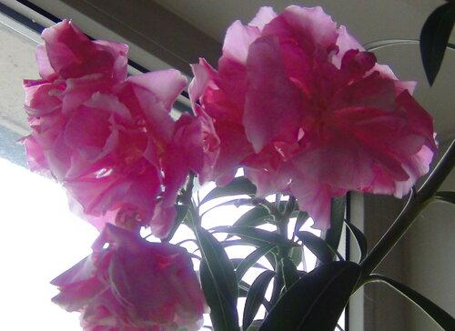 олеандр цветет