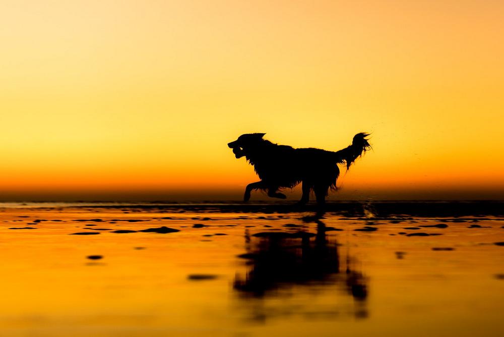 Муха бежит с мячом на побережье Норфолка. Его прежние владельцы отдали пса на ферму, где он помогает