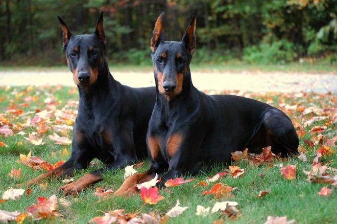 Шелти Собаки этой породы имеют сильную схожесть с колли. У шелти очень хороший слух и обоняние, они,