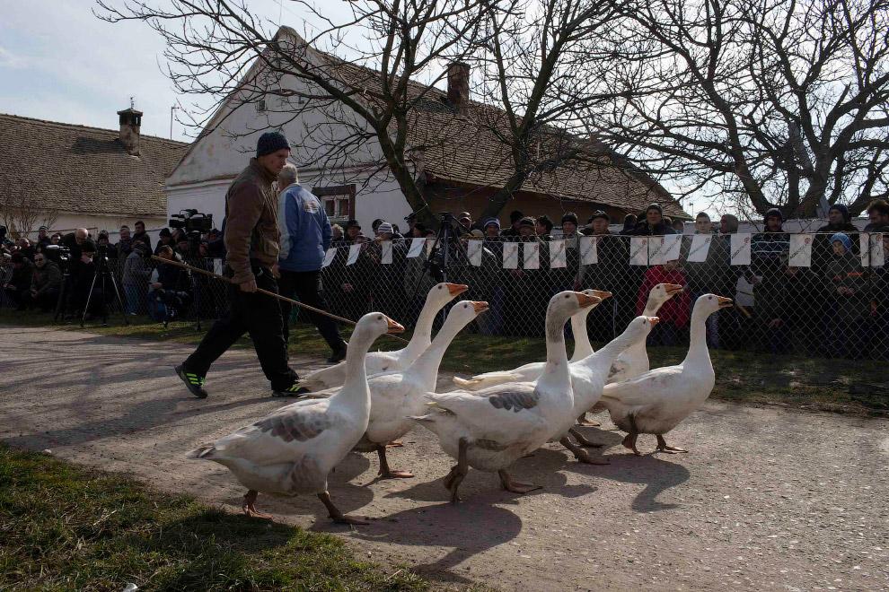 В России гусиные бои — почти исчезнувшая забава, которая была некогда весьма популярна наряду с