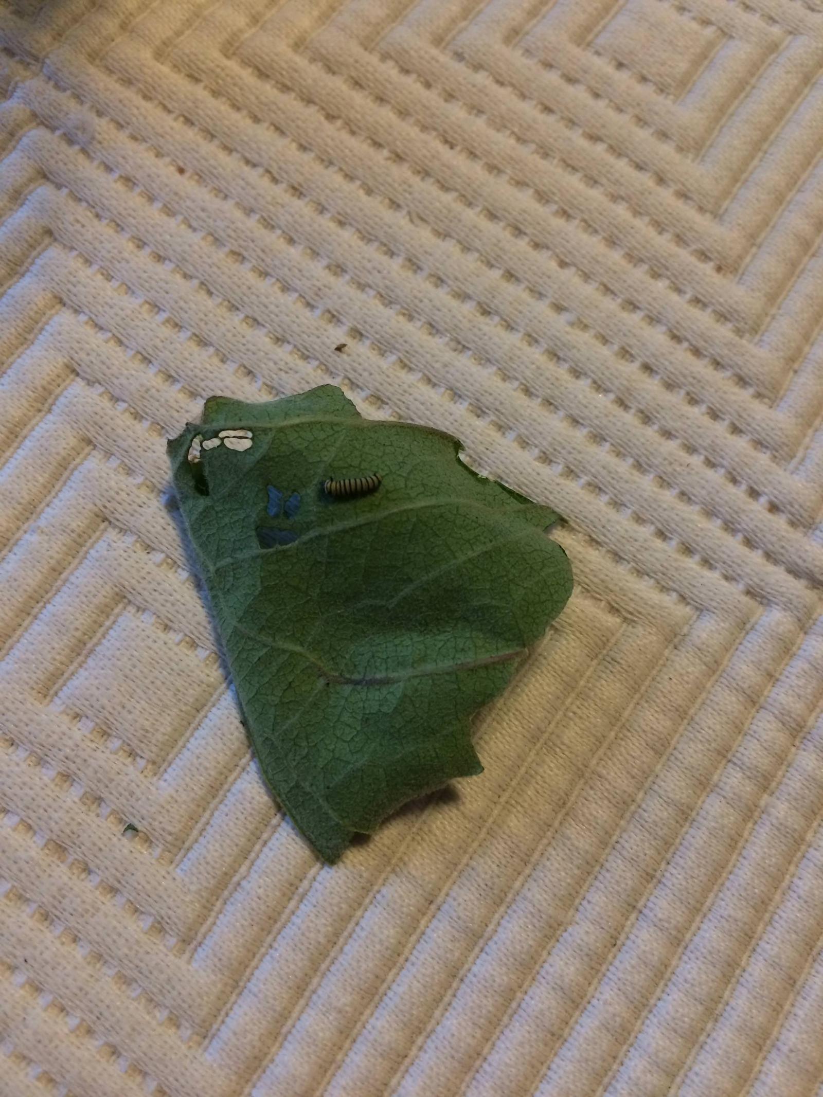Бабочка монарха от яйца до бабочки