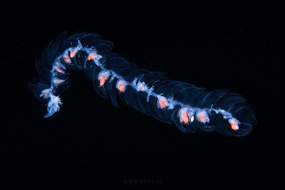 Siphonophore from the Sea of Okhotsk