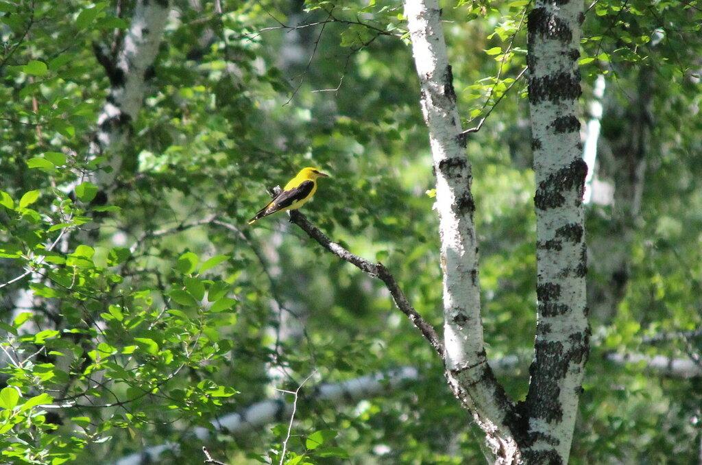 Иволга обыкновенная в лесопарке