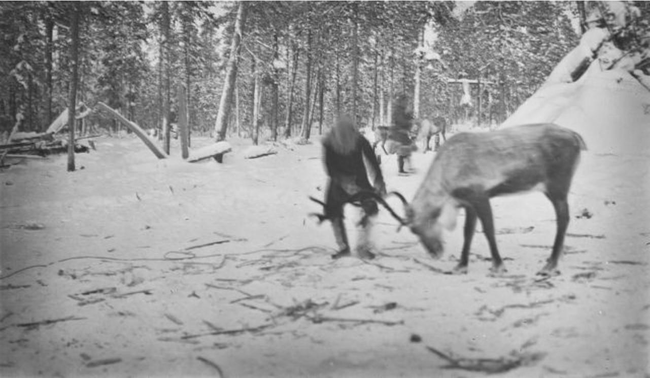 63. Самоедские олени в зимнем лесу