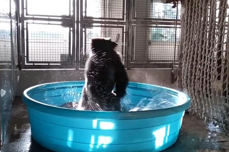 Горилла резвиться в бассейне