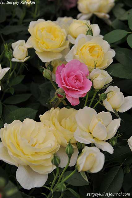 Rosa Vanessa Bell (8).JPG