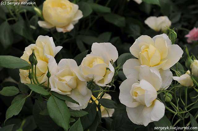 Rosa Vanessa Bell (9).JPG