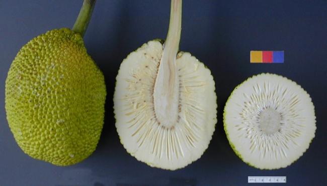 © wikimedia  Этот фрукт может быть съеден внескольких «стадиях». Когда плод созревает, ониме