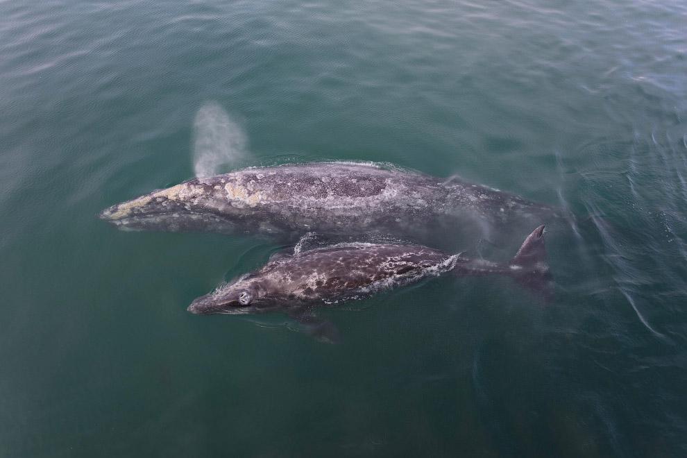 6. Во рту у кита виден китовый ус — роговые пластины у китовых, свисающие с нёба. Они служат дл