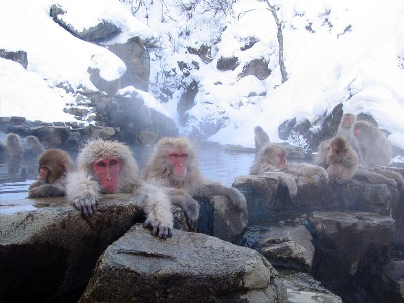 6. Обезьяний парк Дзигокудани, Япония Да, земля здесь засыпана снегом 4 месяца в году, да и придется
