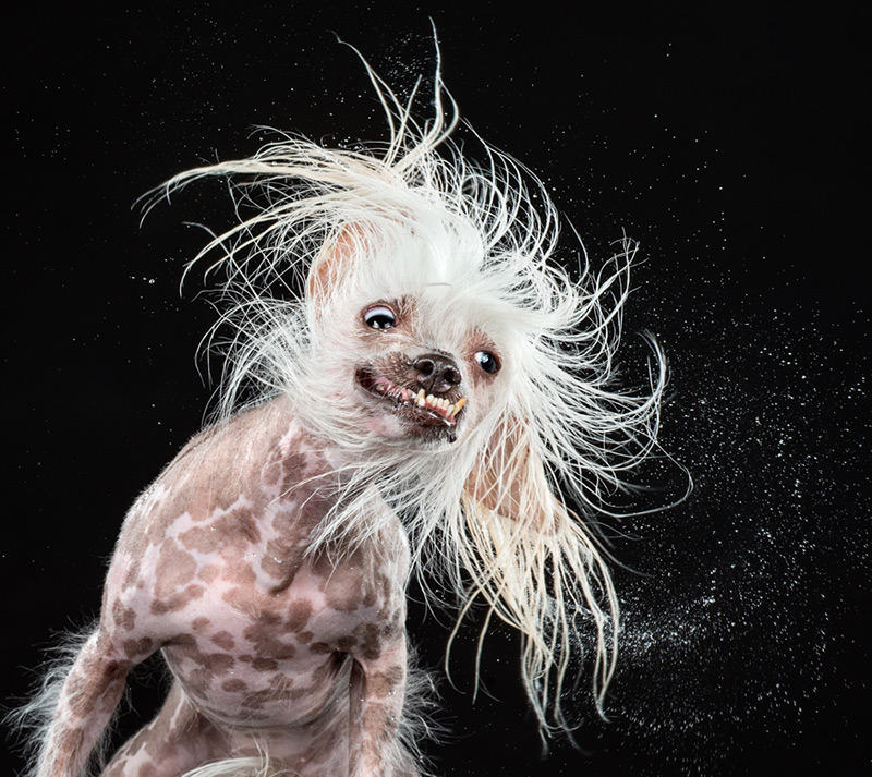Roz / Chinese Crested / Courtesy Carli Davidson & Harper Collins