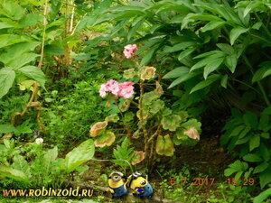 герань на огороде