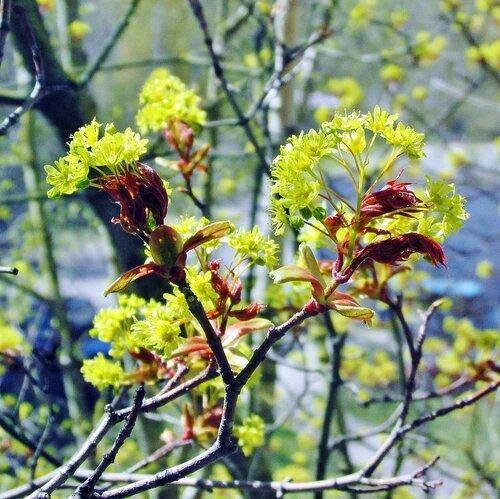 Поздняя весна ( май ) - зацвёл клён