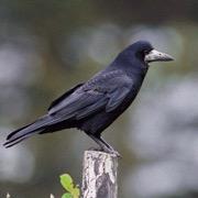 птица черная