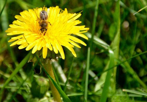 одуванчик, одуванчики, поле одуванчиков, пчела, пчела на цветке, пчела на одуванчике