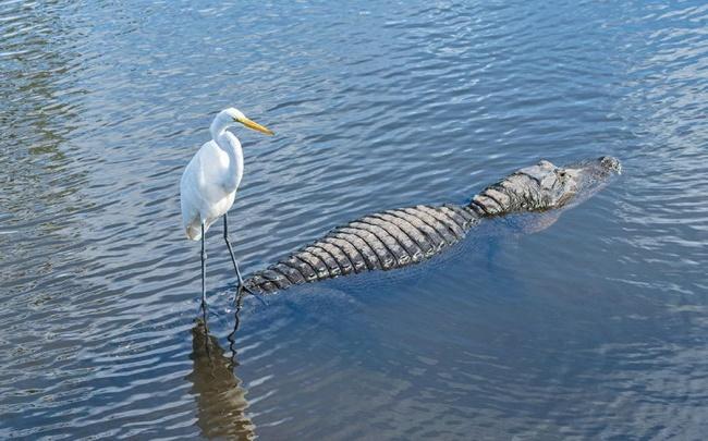 Мывидим аллигатора, ачайка— речной трамвайчик.