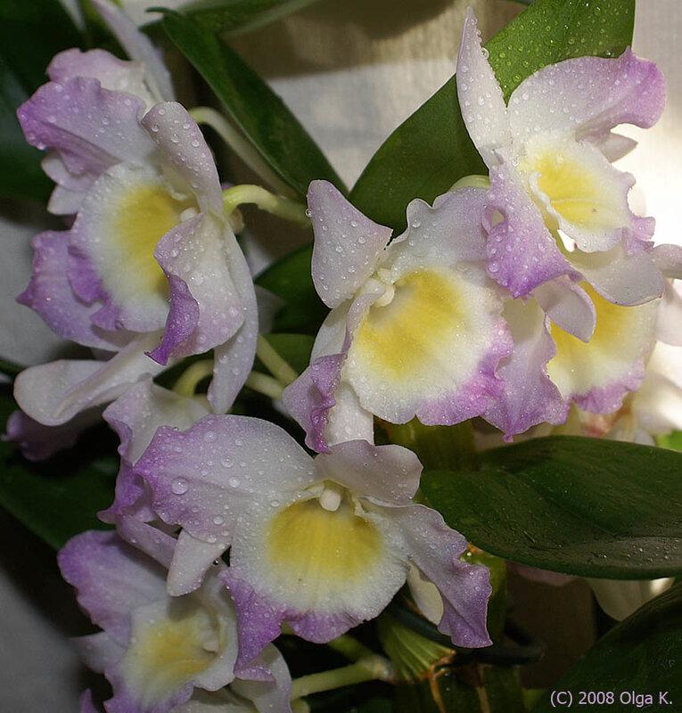 Dendrobium nobile 'Starclass'