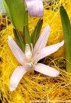 Брандушка разноцветная, бульбокодиум 'White splendor' (Bulbocodium versicolor Spreng), семейство лилейные, класс однодольные