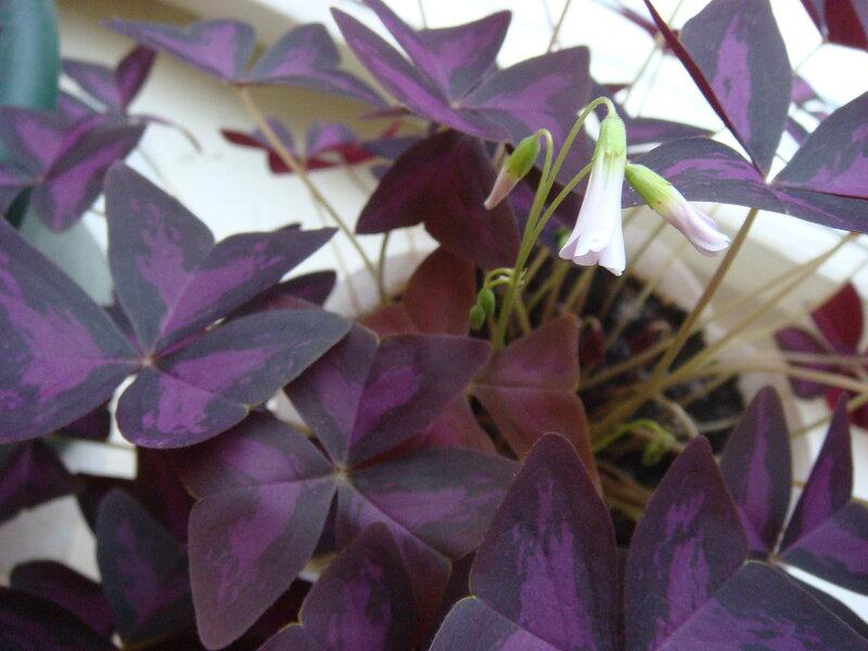 Кислица луковичная выращивание 86