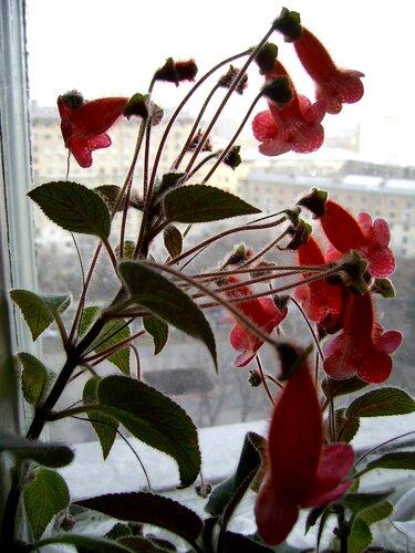 Комнатные цветы красные колокольчики