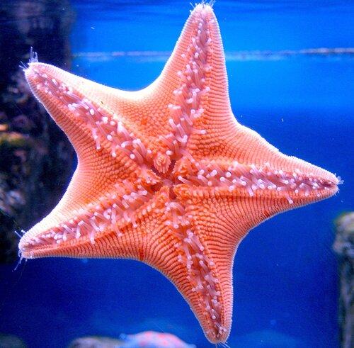 Октябрь 29, 2011 11:54 дп Рубрика.  Морская звезда может вывернуть свой желудок наизнанку.
